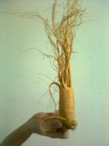 Ginseng bienfaits: stimulant naturel